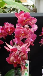 Foto's van Evenement uit Goes - Omnium orchideeënweken Goes  Frans.