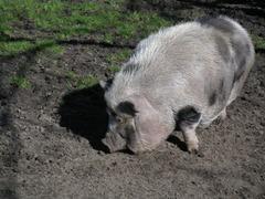 Foto's van Dieren uit Baexem - zwijntjes
