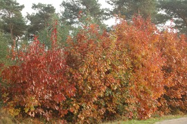 Foto's van Bos - Herfst nabij de Ziekbleek.