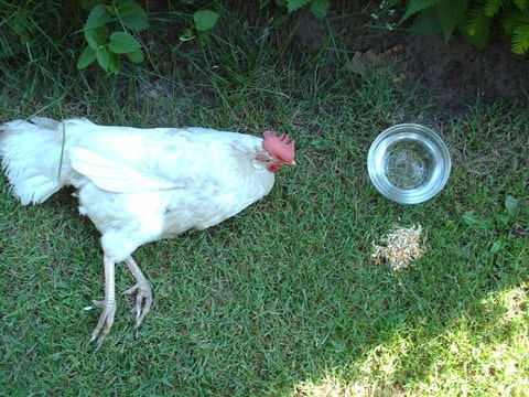 diarree bij kippen