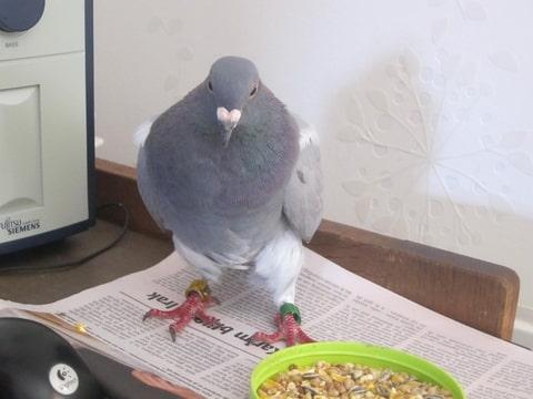 Afbeeldingsresultaat voor duif gevonden