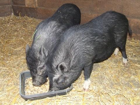 varkens houden als hobby