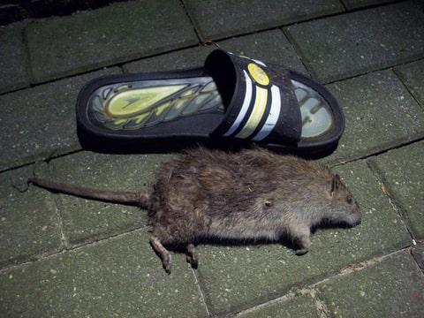 ratten en muizengif
