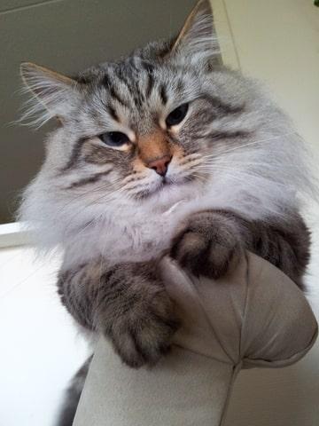 Siberiche kat