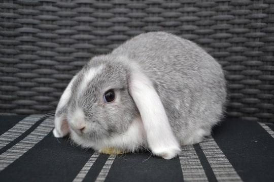 NHD chinchilla witoor bunny's plaza