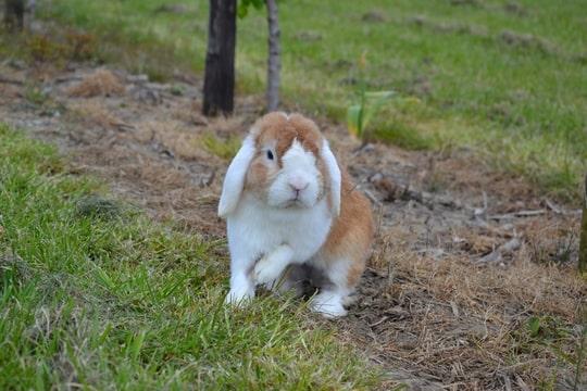 nhd oranje witoor hangoordwerg annelisa den hartog bunny's plaza