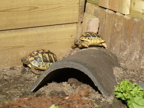 voedsel griekse landschildpad