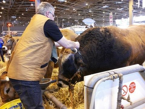 oudste koe nederland
