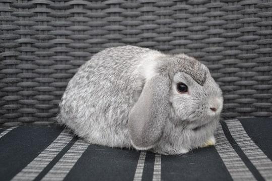 NHD chinchilla annelisa den hartog bunny's plaza