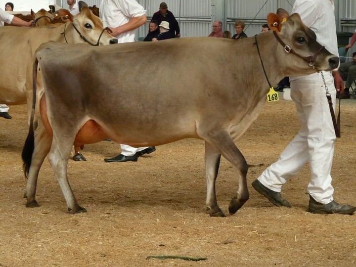 Koeienshow  u2022 Bokt nl
